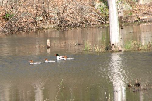 Common Mergansers at Monksville Reservoir