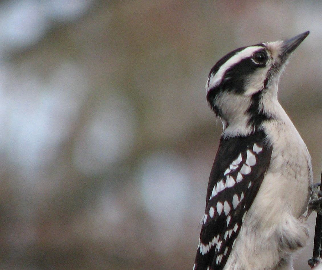 Young Downy Woodpecker Behind The Bins