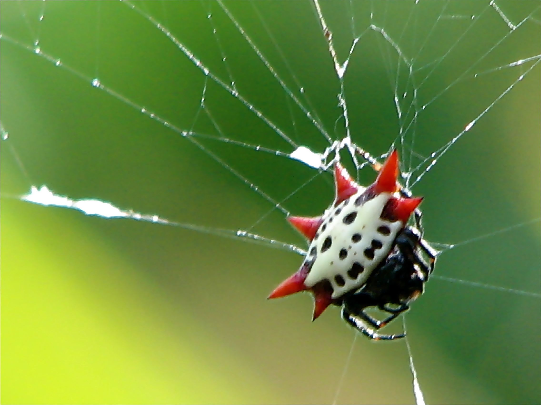 Displaying 18> Images For - Spiders With Spikes...