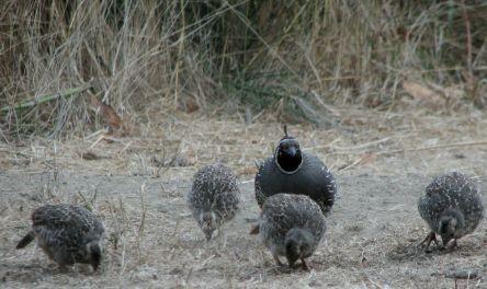https://behindthebins.files.wordpress.com/2008/10/papa-quail.jpg