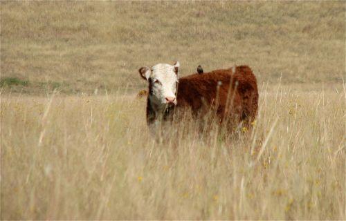 cowbird on a cow
