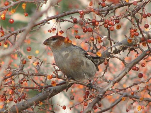female-pine-grosbeak