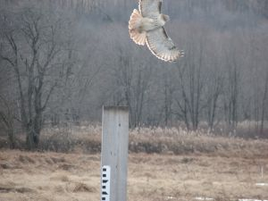 Red-tatiled Hawk