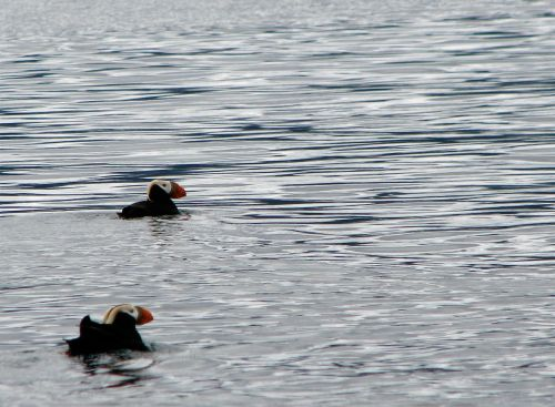 tufted-puffins