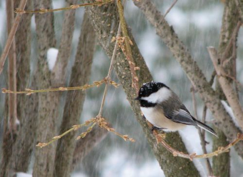 black-capped-chickadee-in-snow