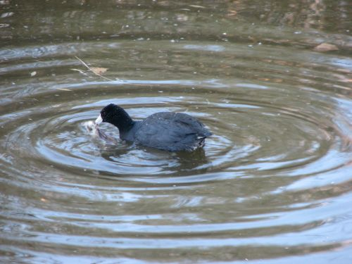 coot-eating-a-frog