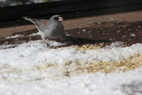 gray-headed-junco1
