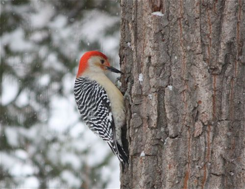 red-bellied-woodpecker