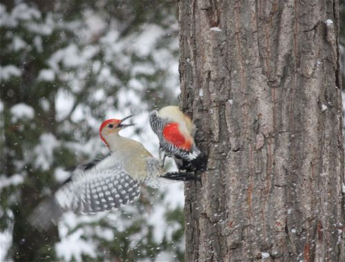red-bellied-woodpeckers-brawling