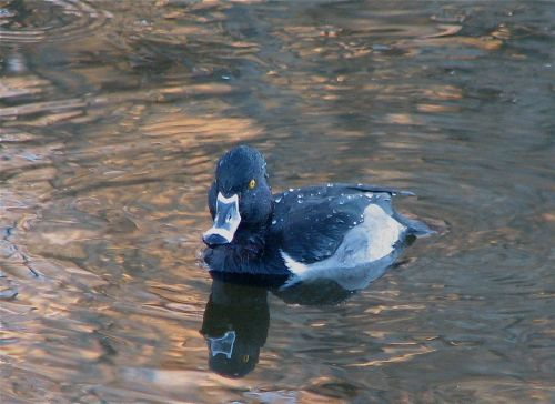 ring-necked-duck1