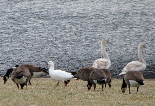 ross's-goose