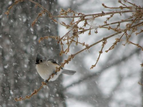 titmouse-in-snow1