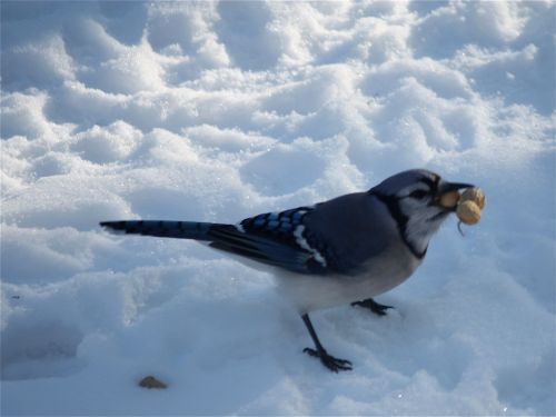 blue-jay-with-2-peanuts