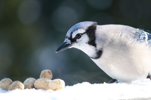 blue-jay-with-peanut-1
