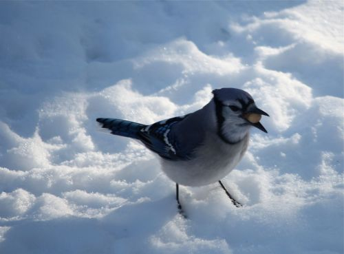 blue-jay-with-peanut