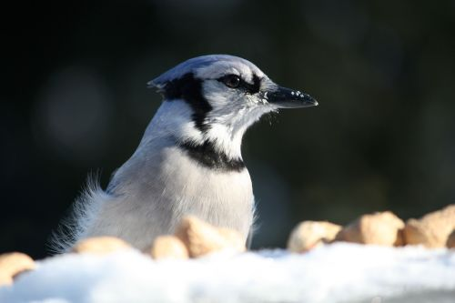 blue-jay-with-peanuts