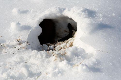muskrat-in-a-hole