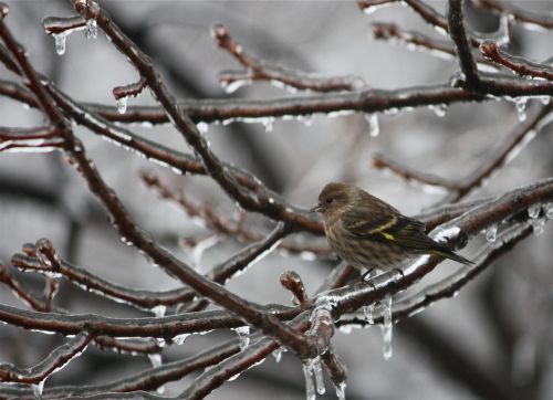pine-siskin-in-an-icy-tree
