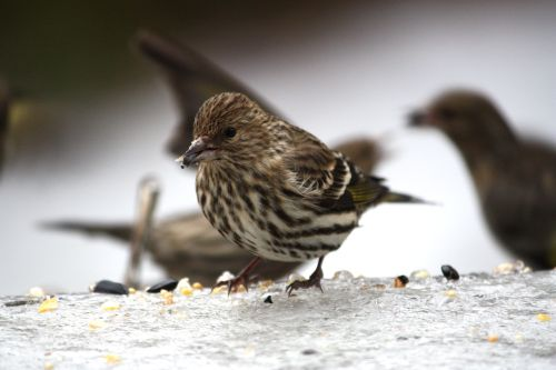 pine-siskins-on-the-deck