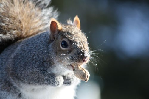 squirrel-with-peanut