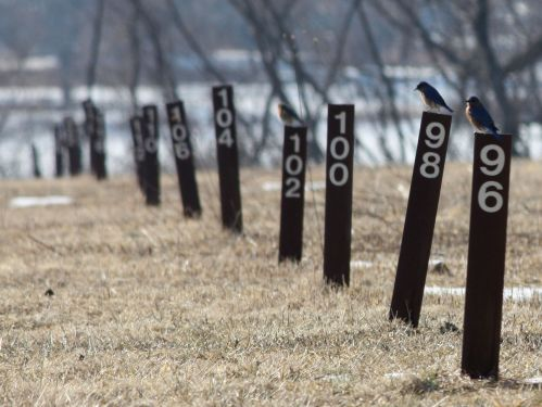 bluebirds-on-posts