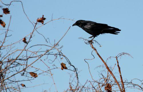 fish-crow