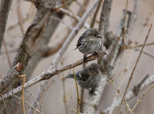 pine-siskin-waiting1