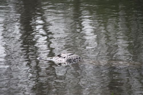 alligator-head-in-the-water