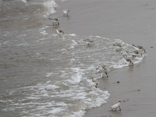 sanderlings1