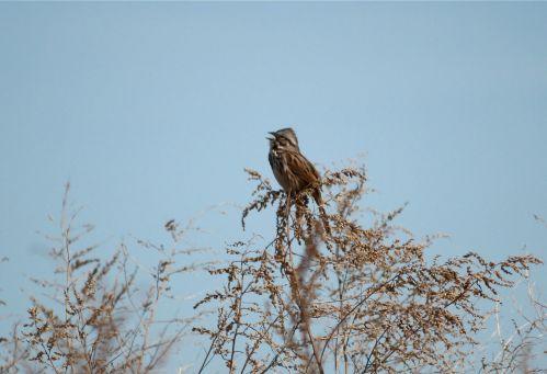song-sparrow1
