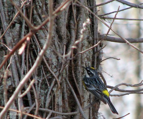 yellow-rumped-warbler1