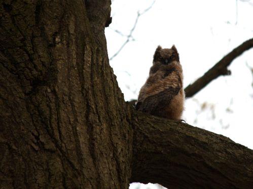 great-horned-owlet