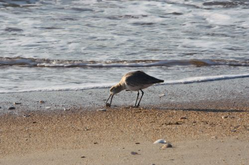 willet-at-th-beach