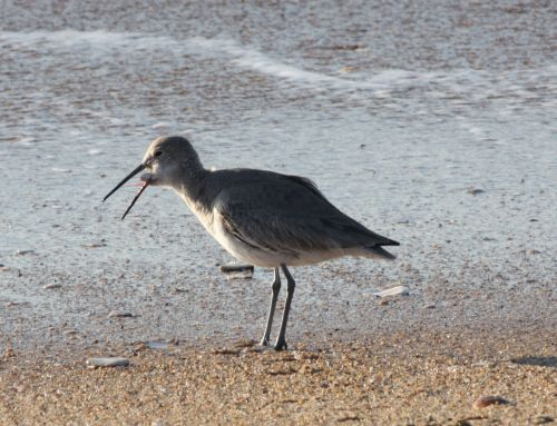 willet-eating
