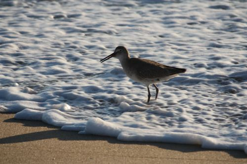 willet-in-surf1