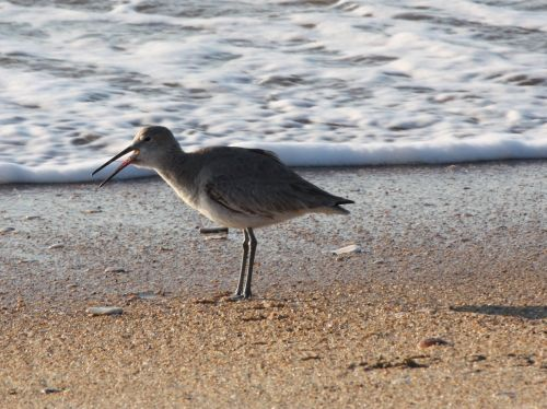 willet-swallowing