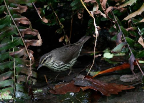 LA Waterthrush