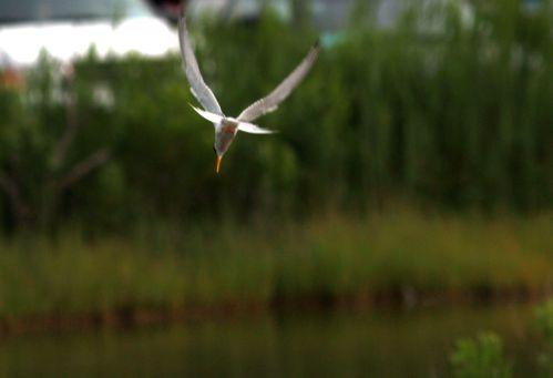 diving tern