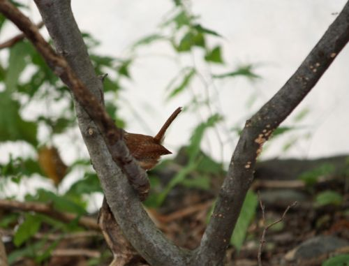 Carolina Wren tail
