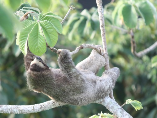 3-toed sloth
