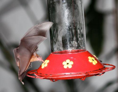 bat at hummer feeder