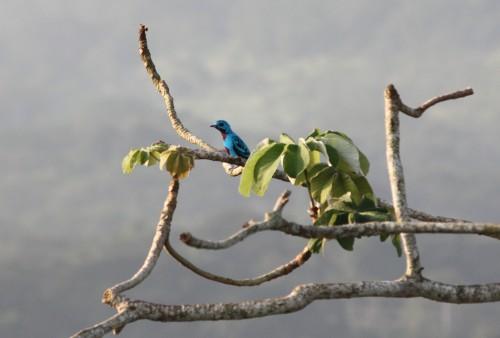blue continga