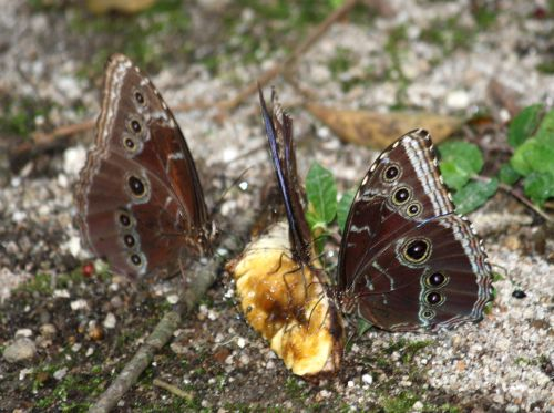 blue morpho eating banana