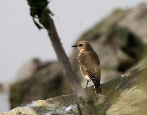 no wheatear